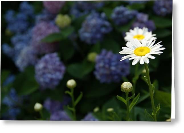 Daisy Among Hydrangeas Greeting Card by Leigh Ann Hartsfield