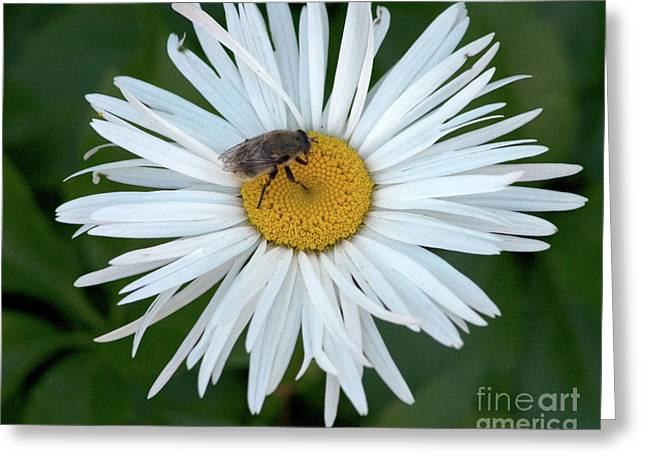 Daisy And Bee Greeting Card