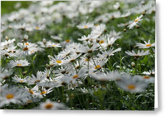 Daisy Bokeh Greeting Card