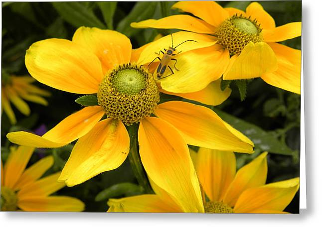 Daisy Bug Greeting Card by Julie Fields