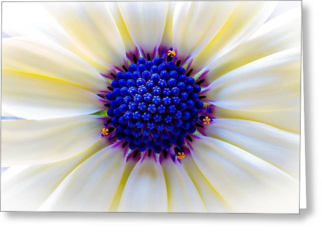 Daisy Centre Greeting Card