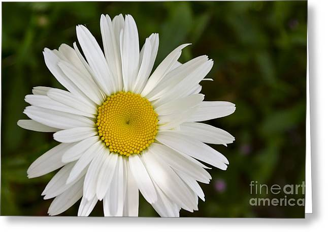 Daisy Day Greeting Card