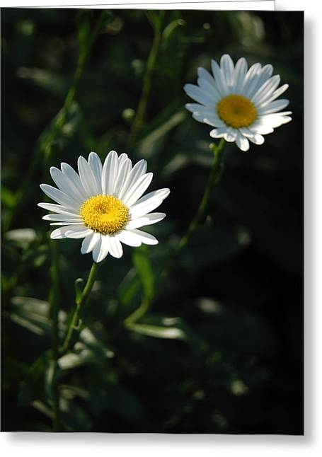 Daisy Days Greeting Card by Suzanne Gaff