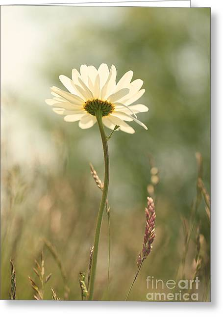 Daisy Dreams Greeting Card by LHJB Photography