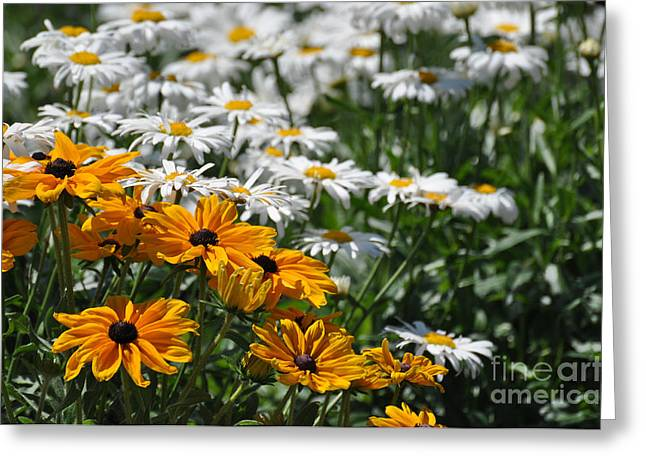 Daisy Fields Greeting Card
