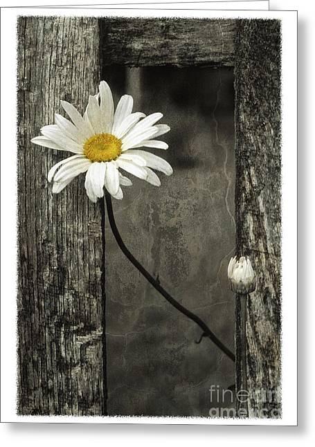 Daisy - Fs000357-a Greeting Card