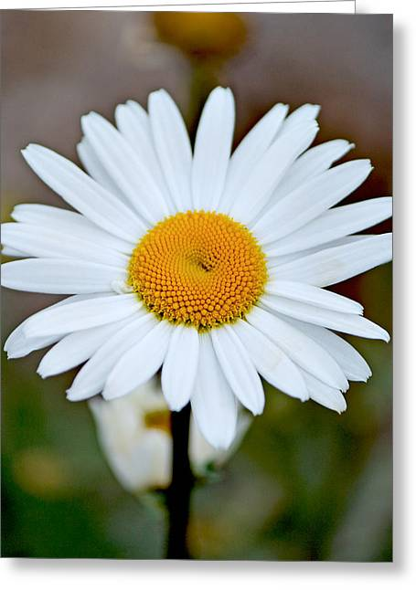 Daisy In The Morning Greeting Card by Andrew Chianese