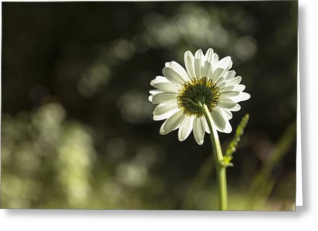 Daisy Light Greeting Card