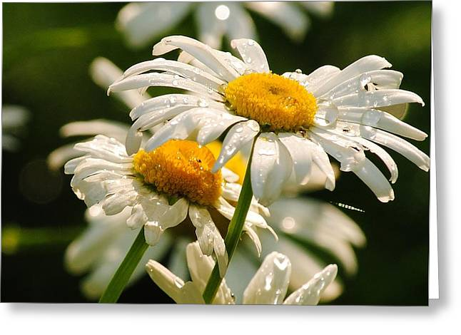 Daisy Greeting Card by Paul Noble