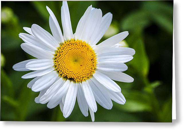 Greeting Card featuring the photograph Daisy by Phil Abrams