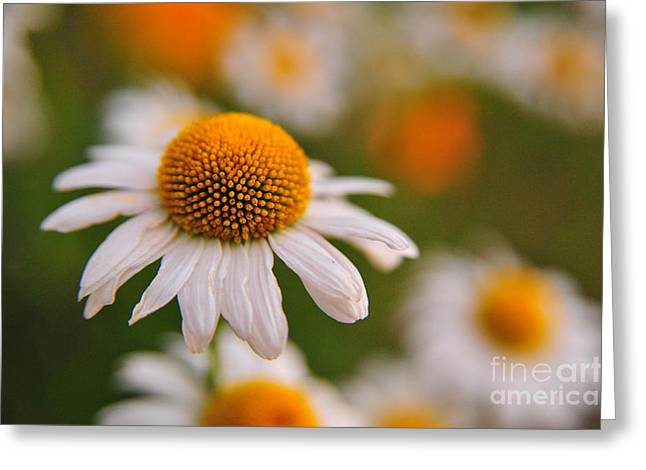 Daisy Power Greeting Card