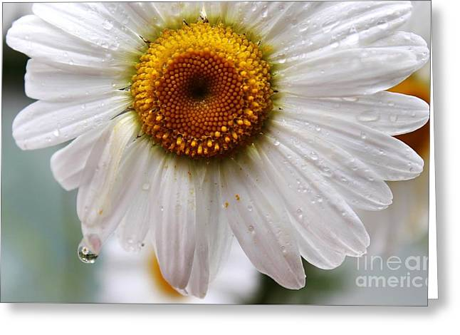 Daisy Reflect Greeting Card