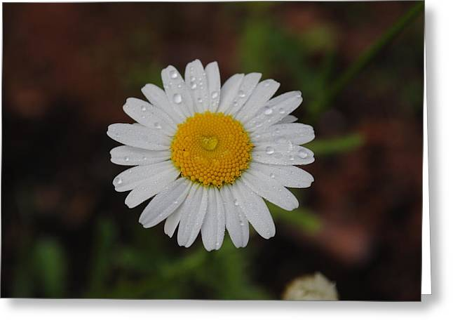 Greeting Card featuring the photograph Daisy by Robert  Moss