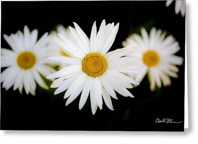 Daisy Trio Greeting Card