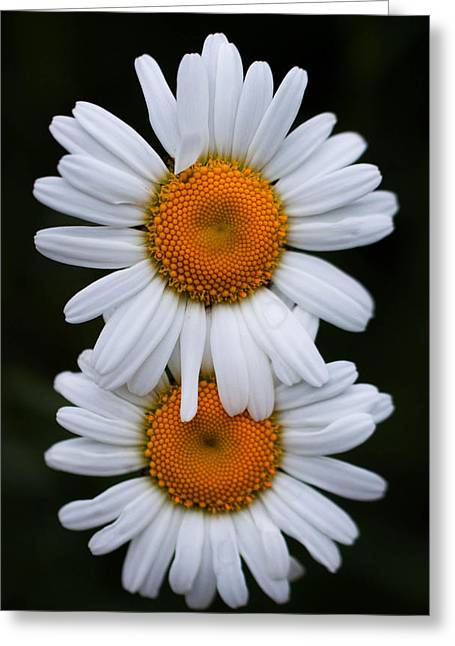 Greeting Card featuring the photograph Daisy Twins by Haren Images- Kriss Haren