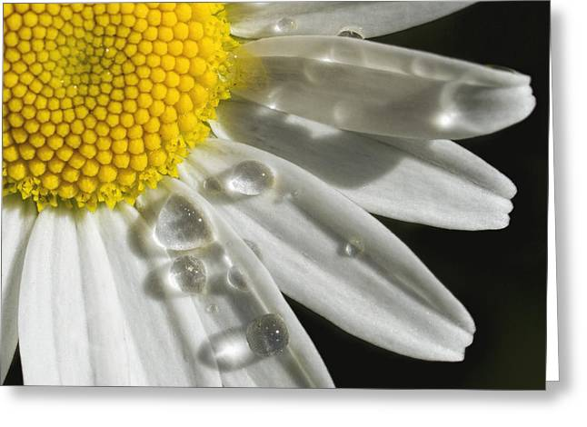 Greeting Card featuring the photograph Daisy With Raindrops by Rob Graham