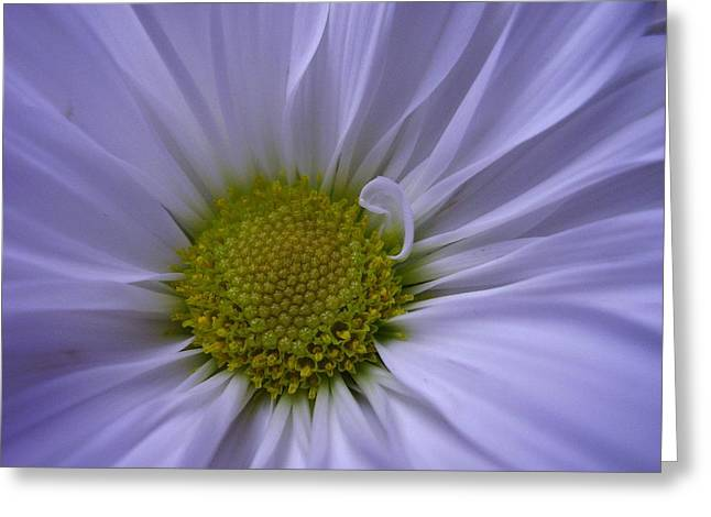 Daisy Greeting Card by Yvette Pichette