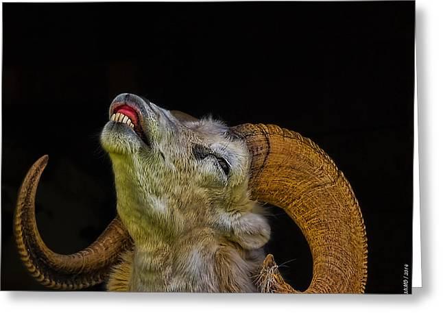 Dall Sheep Greeting Card by Ken Morris