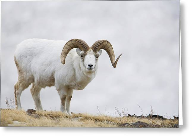 Dall Sheep Ram On Sheep Mountain Greeting Card by Milo Burcham