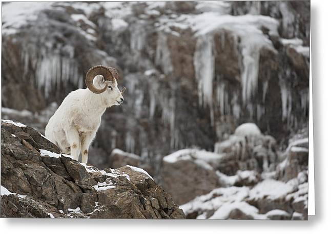 Dall Sheep Ram Stands On A Rocky Cliff Greeting Card