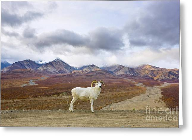 Dalls Sheep Ram Denali National Park Greeting Card