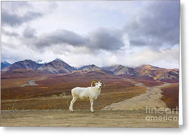 Dalls Sheep Ram Denali National Park Greeting Card
