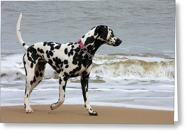 Dalmatian By The Sea Greeting Card by Gordon Auld