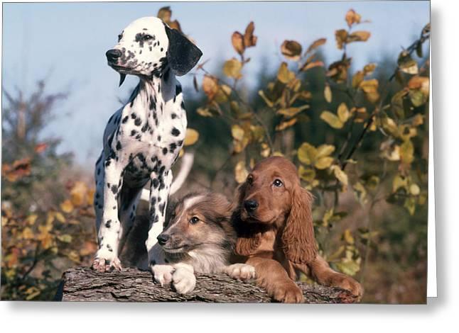 Dalmatian, Collie, And Cocker Spaniel Greeting Card
