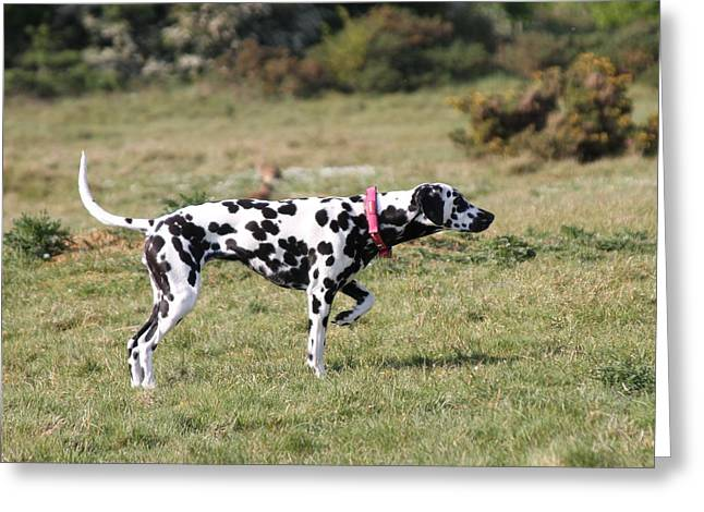 Dalmation Pretending To Be A Pointer Greeting Card by Gordon Auld