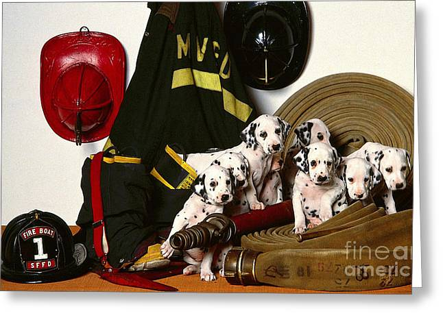 Dalmation Puppies  Greeting Card