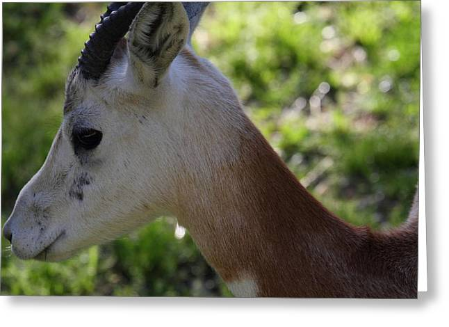 Dama Gazelle - National Zoo - 011313 Greeting Card