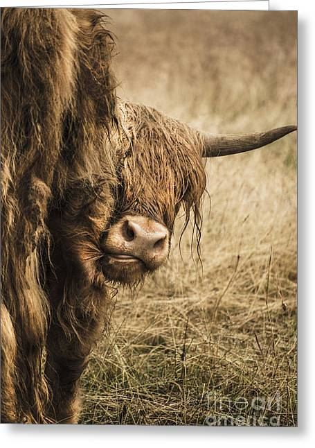 Highland Cow Damn Fleas Greeting Card