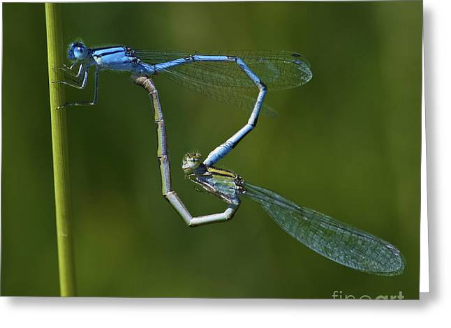 Damsel Love.. Greeting Card by Nina Stavlund
