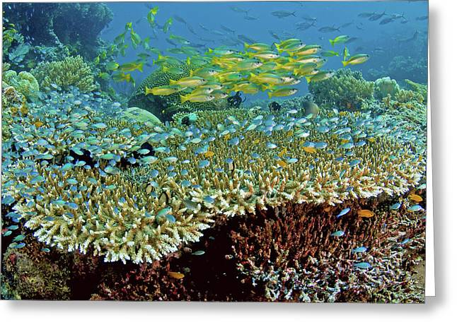Damselfish (pomacentridae Greeting Card by Jaynes Gallery