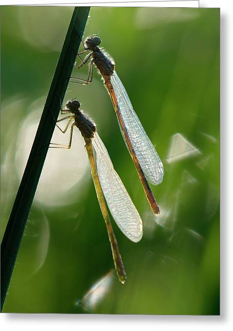 Damselflies On A Stalk Greeting Card by Dr. John Brackenbury