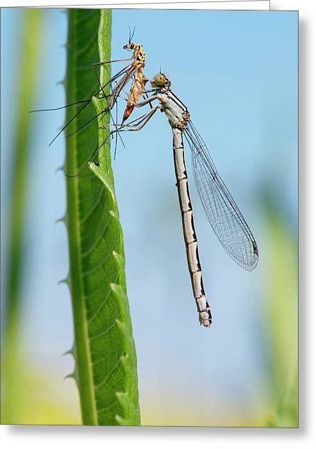 Damselfly Feeding On A Crane Fly Greeting Card by Dr. John Brackenbury