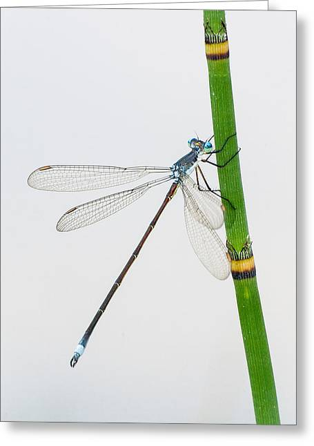 Damselfly On Horsetail Greeting Card