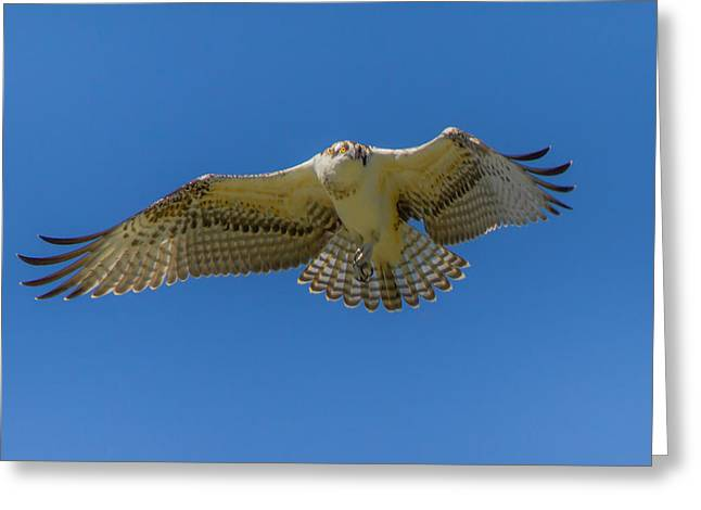 Dance Of Osprey Greeting Card by Laura Bentley
