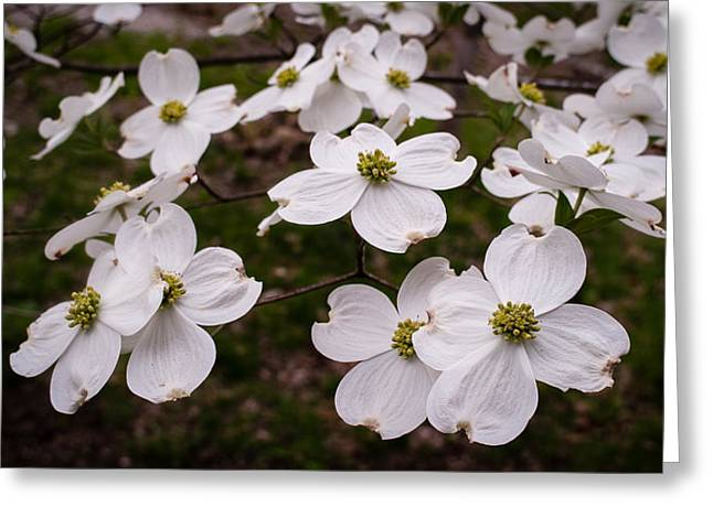 Greeting Card featuring the photograph Dance Of The Dogwoods by Wayne Meyer