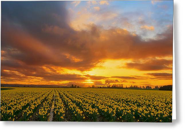 Dances With The Daffodils Greeting Card by Ryan Manuel
