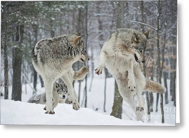 Greeting Card featuring the photograph Dances With Wolves by Wolves Only