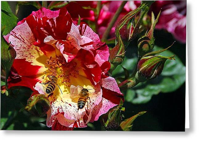 Greeting Card featuring the photograph Dancing Bees And Wild Roses by Absinthe Art By Michelle LeAnn Scott