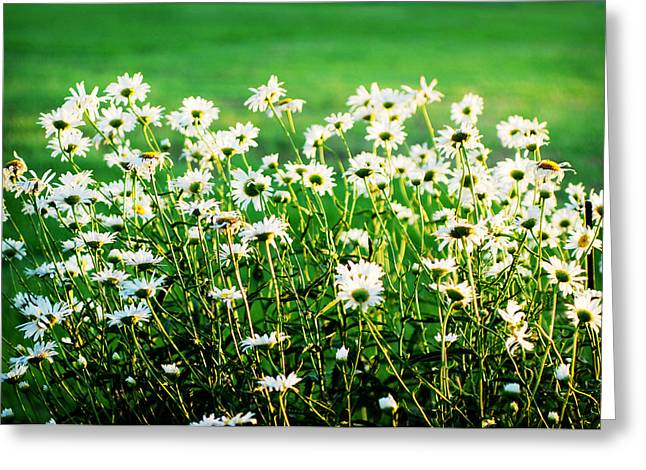 Dancing Daisies Greeting Card