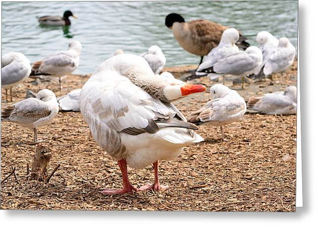 Dancing Goose 2 Greeting Card by Bob Gross