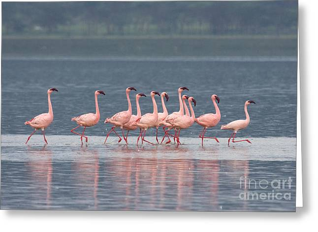 Greeting Card featuring the photograph Dancing Pink Flamingos  by Chris Scroggins