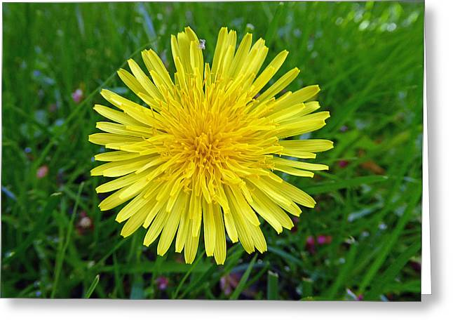 Greeting Card featuring the photograph Dandelion And Spider by Laurie Tsemak