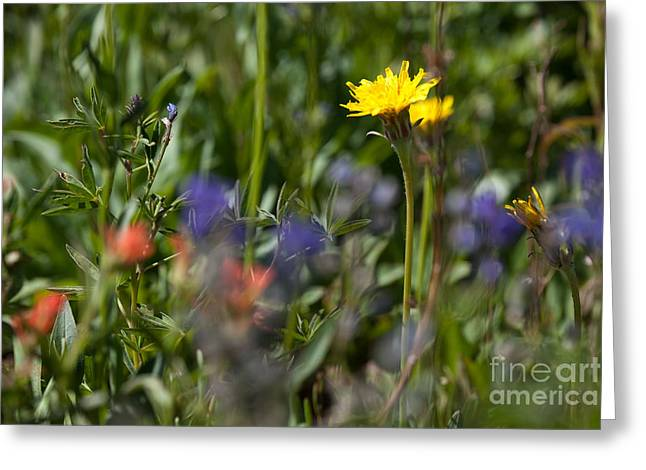 Dandelion And Wildflowers Greeting Card by Cindy Singleton