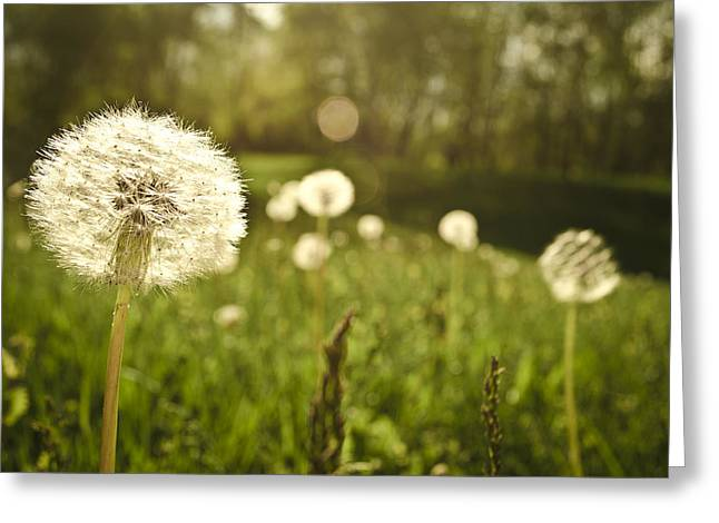 Dandelion Basking In The Sun Greeting Card