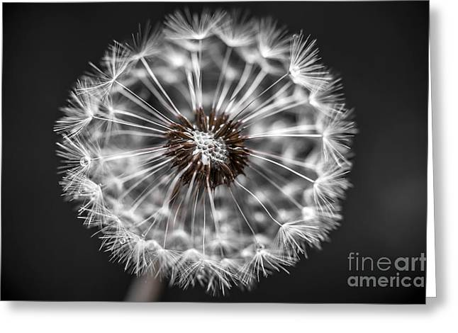 Dandelion Closeup Greeting Card by Elena Elisseeva