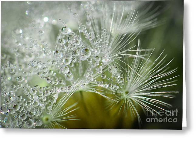 Dandelion Dew Greeting Card